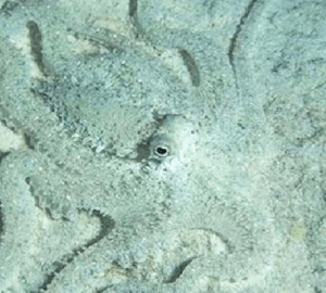 THE MIMIC OCTOPUS