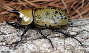 The Hercules Beetle