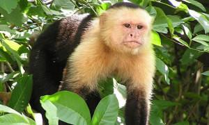 The Capuchin Monkey