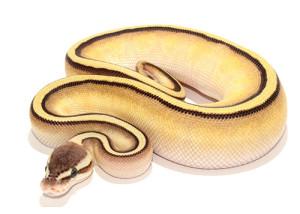 Pastel Butter Stripe Ball Python